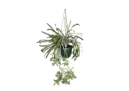 Hanging Fern Plant in Green Pot